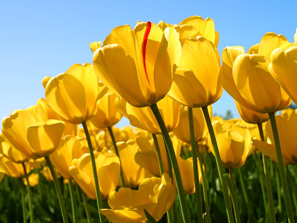 Clique na imagem para uma versão maior  Nome:         Tulips.jpg Visualizações:18 Tamanho: 606,3 KB ID:      60705